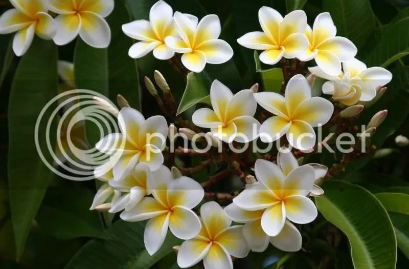 photo frangipani.jpg