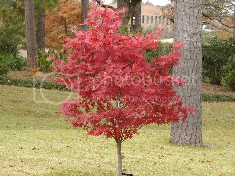 photo japanesemaple.jpg