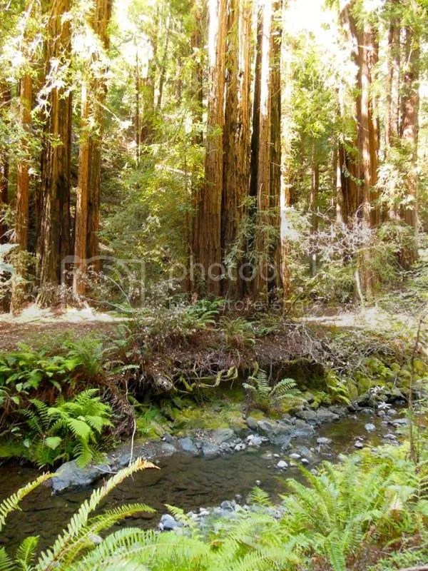 photo redwoods.jpg