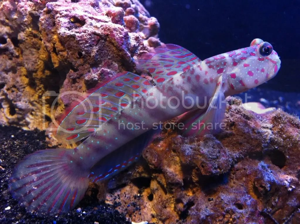 pink spotted Goby