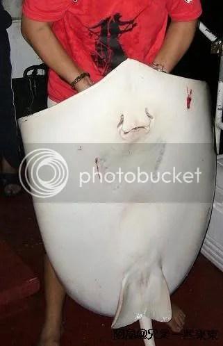 25kg stingray
