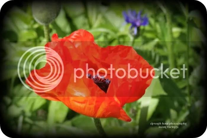 https://i1.wp.com/i292.photobucket.com/albums/mm13/rebelregan/Earth/OrangePoppy.jpg