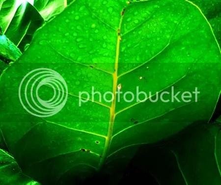 big green leafy mantalisay