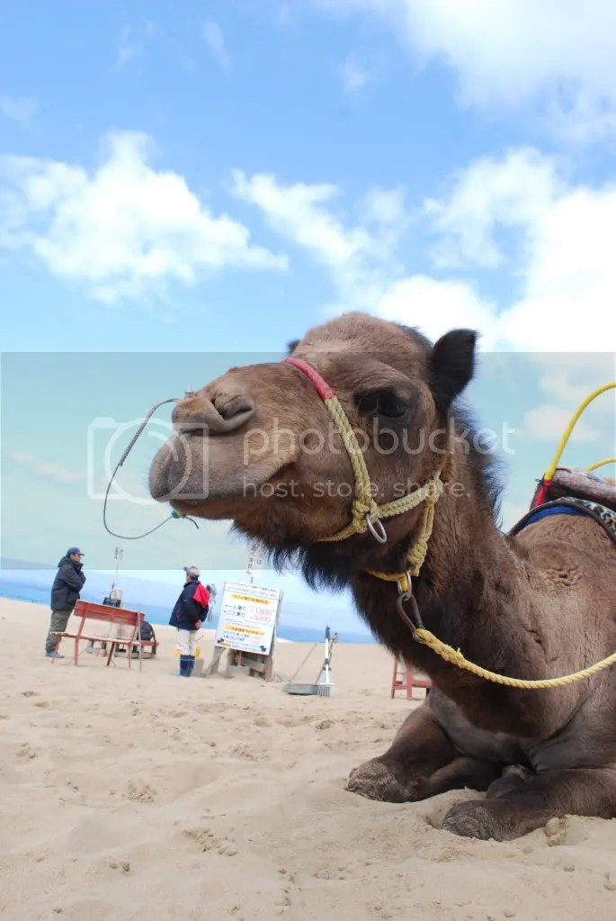 A camel, one of four that you can pay to have a short ride on.