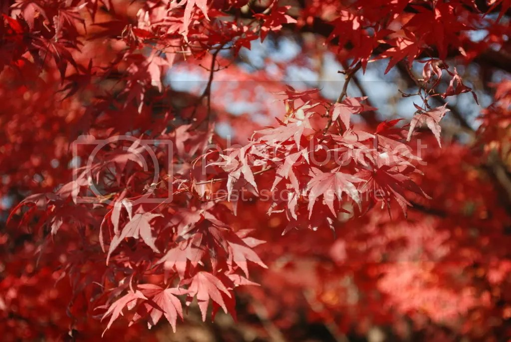 Momiji tree