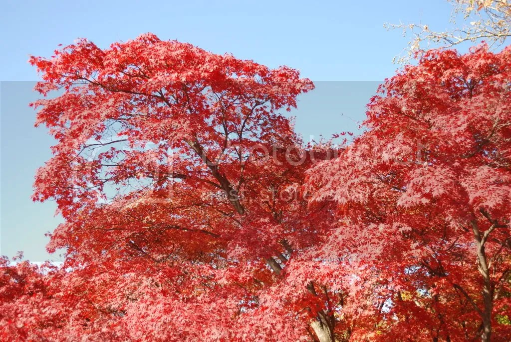 the red leaves against the blue sky