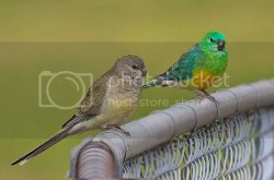 Pevajući papagaj(Psephotus haematonotus)