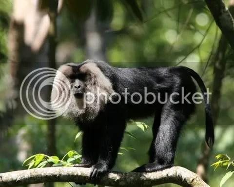 lion-tailed macaque puthuthottam area valparai 100109 photo IMG_0988.jpg