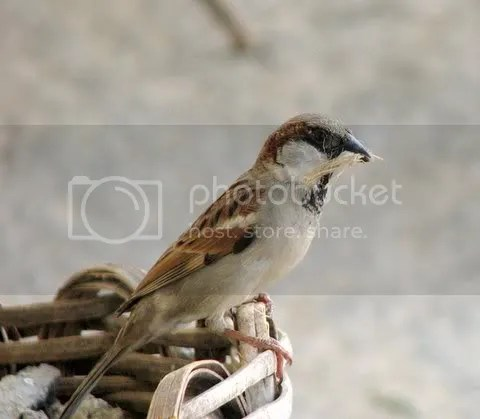 male sparrow with nesting material 171108 ragihalli village photo IMG_3039.jpg