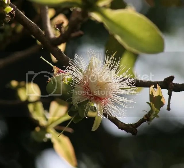 carea arborea flower lalbagh 290309
