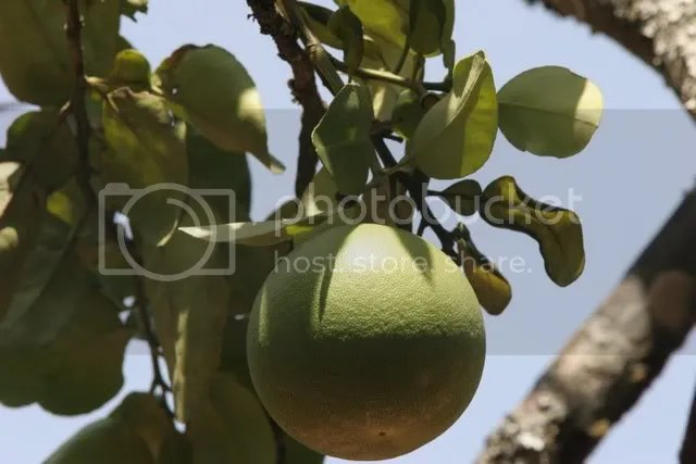 citron fruit nh nursery 110409