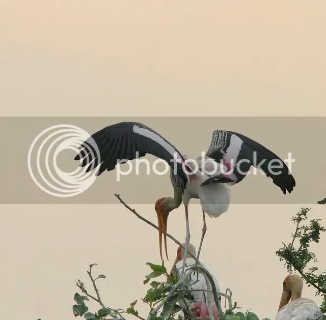 painted storklanding mysore 110409