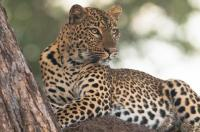 Leopard by Chikamba