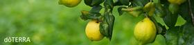 Lemon_Tree.164904.jpg