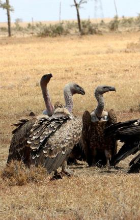 Step up for vultures
