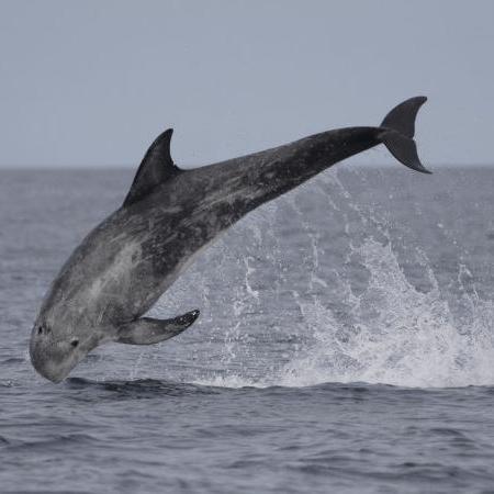 A Risso's dolphin leaps