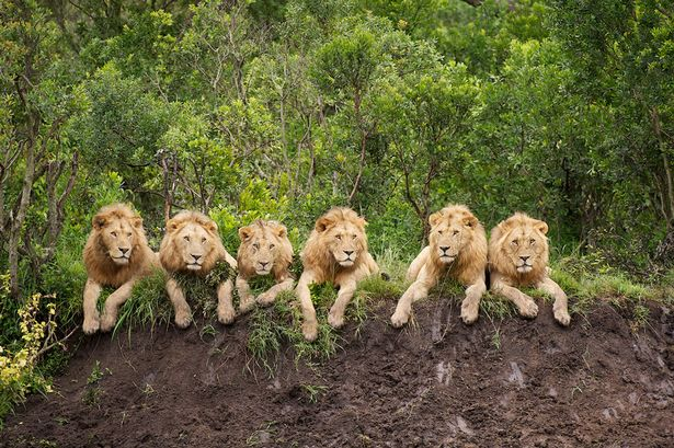 https://i1.wp.com/i3.mirror.co.uk/incoming/article1263658.ece/ALTERNATES/s615/6%20male%20lions%20in%20a%20row...They%20may%20be%20fearsome%20predators,%20but%20these%20six%20lions%20look%20positively%20cuddly%20as%20they%20relax%20in%20a%20row