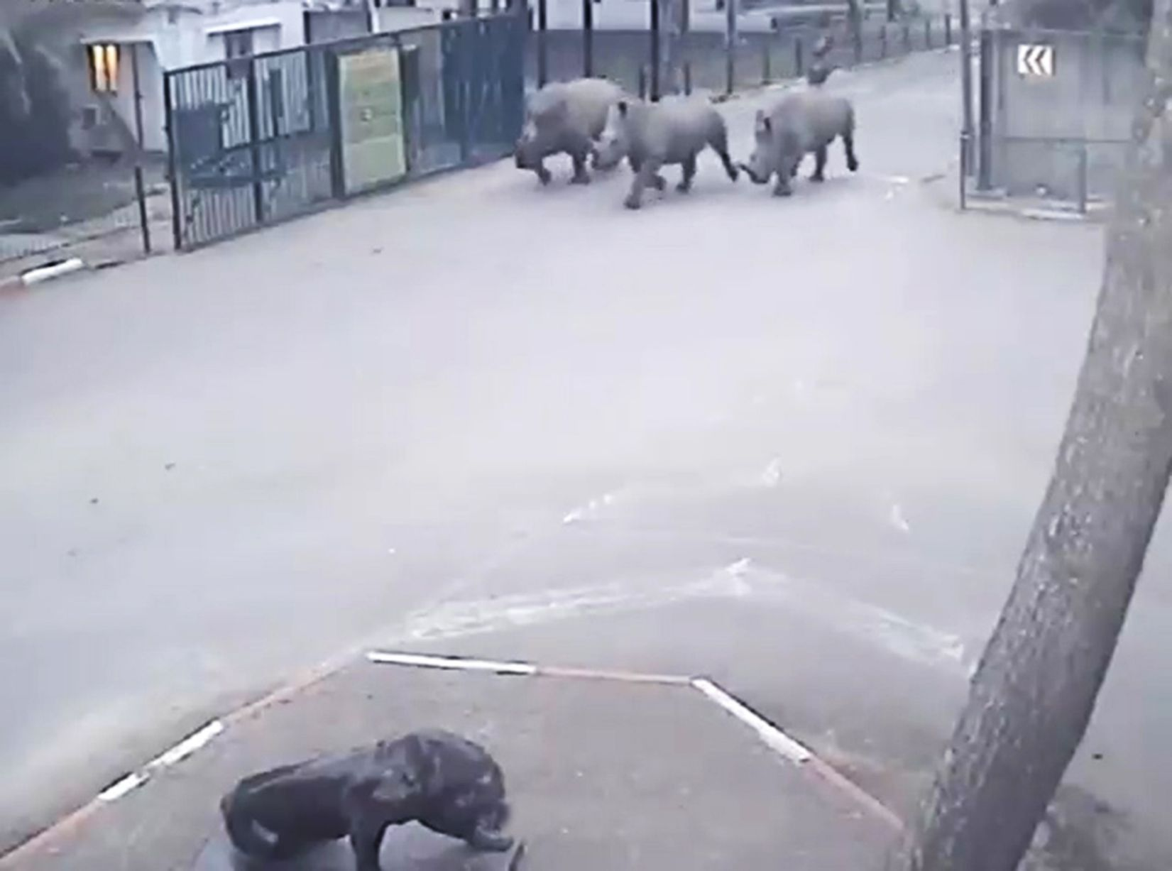 Rhinos escaping from a safari park in Tel Aviv