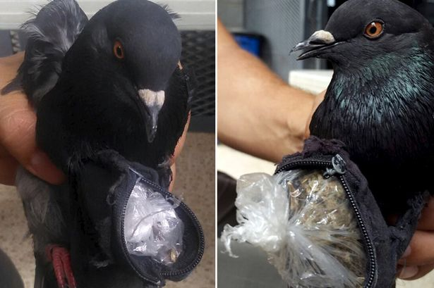 Image result for Customs catches - pigeon carrying drugs