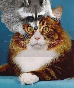 coon on cat