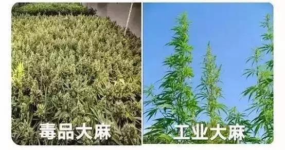 工業大麻種植,卻大力發展工業大麻 - 華爾街日報