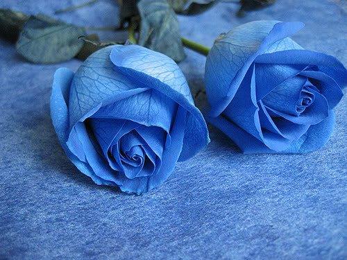 藍玫瑰怎麼種?藍玫瑰花語是什麼? - 壹讀