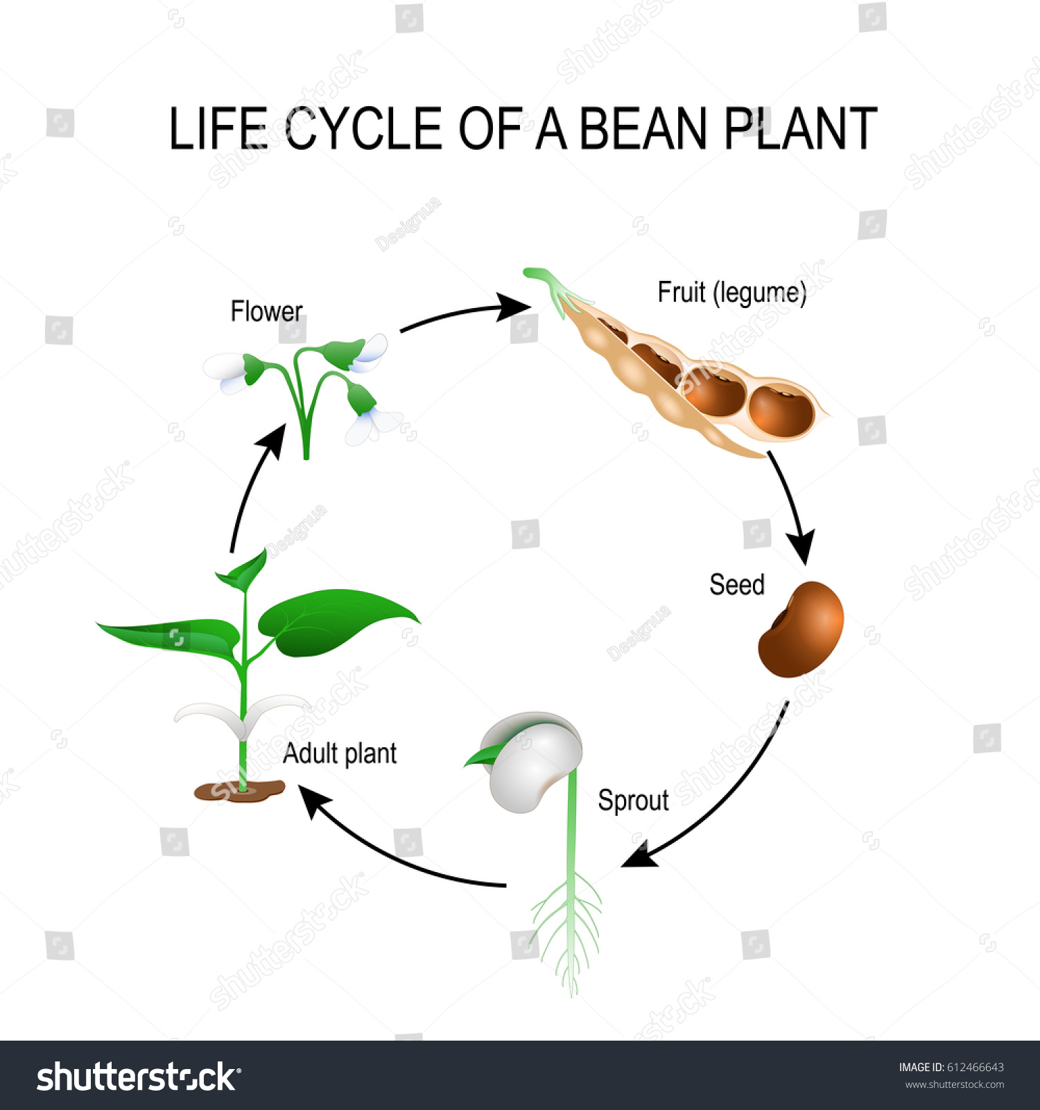 Plant Life Cycle Stages