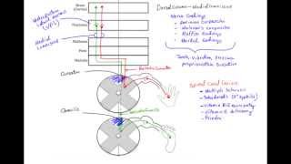 Dorsal Column Medial Lemniscus Pathway (DCML)