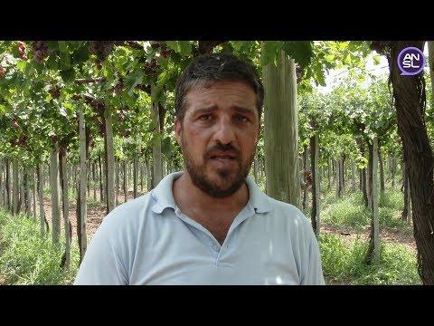 Alfredo Cartellone, gerente de Producción de Sol Puntano - Cosecha de uvas