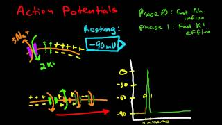 Cardiac Conduction & Cardiac Action Potentials
