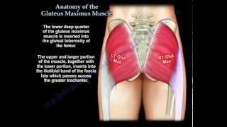 Anatomy Of The Gluteus Maximus Muscle