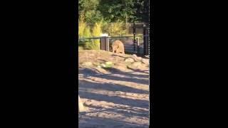 Chendra - KD Lang at Oregon Zoo July 2016 summer concert series