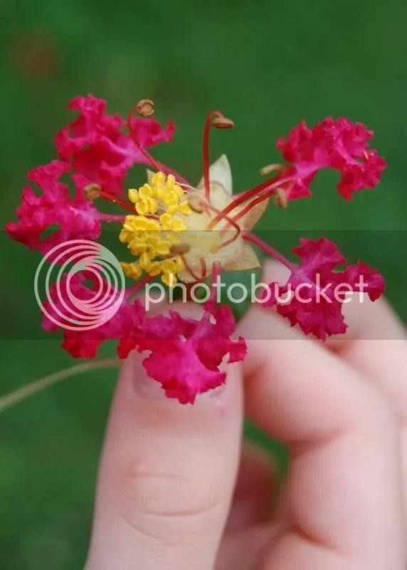 CrepeMyrtleFlower.jpg crepe myrtle flower image by MossRose73