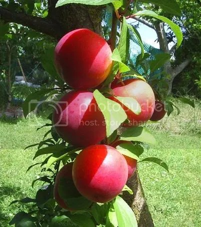 apple fruit photo: fruit apple apple-2.jpg