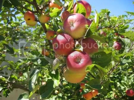 apple tree Pictures, Images and Photos