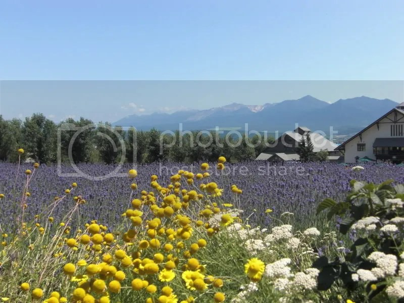 The smell of lavender wafting wherever I go~~~ Aaaaah....gh.