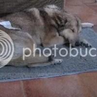 Angst voor narcose bij de Saarlooswolfhond