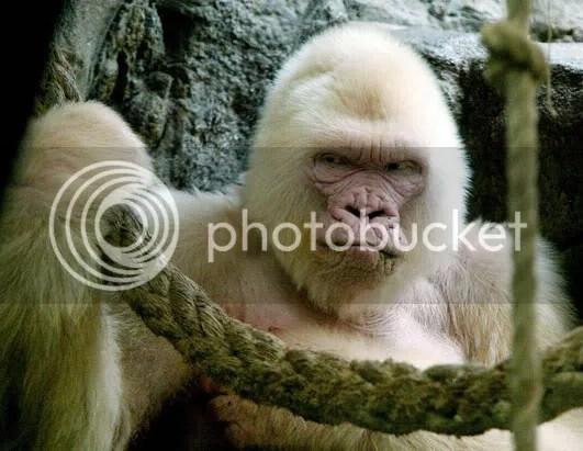 nm gorilla 080411 ssh Albinismo: O branco que a natureza merece