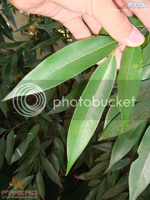 ลำดวน, Melodorum fruticosum, ไม้วงศ์กระดังงา, ต้นไม้, ดอกไม้