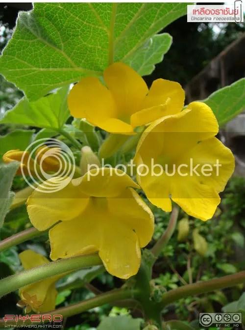 เหลืองราชันย์, Uncarina roeoesliana, ไม้แล้ง, ไม้อวบน้ำ, ดอกสีเหลือง, ไม้โขด, ต้นไม้, ดอกไม้