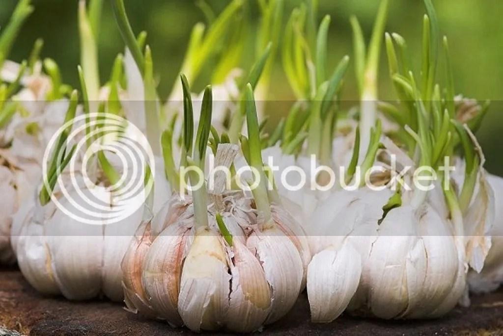 Cara Cepat Menghilangkan Jerawat Dengan Bawang Putih