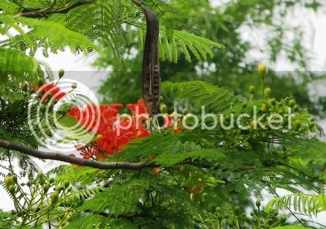 Hoa phượng Đông Anh