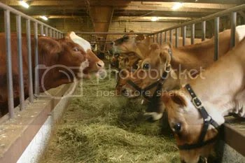 Home on the Range cows happily munch their hay, seemingly oblivious to procedings in British Columbia courts.