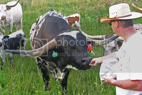 They werent kidding when they called these cattle Longhorns