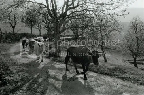 Dairy cattle in Britain -- where raw milk is legal. Photo by James Ravilious, via Corbis