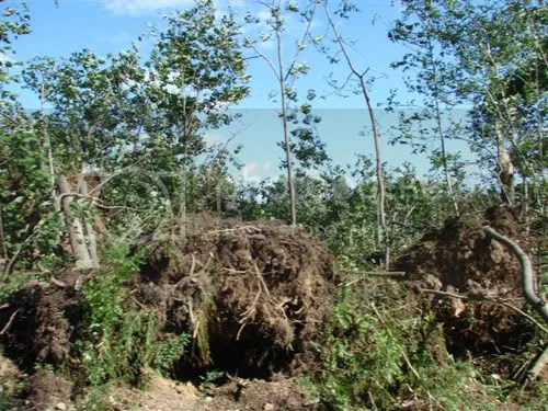More uprooted trees from near where the young cattle used to graze.