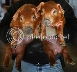 Cloned pigs.