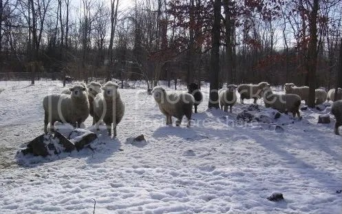 Manna Storehouse sheep - from Manna Storehouse website