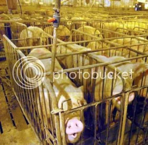 Confined Animal Feeding Operation of the sort blamed for Swine flu. Photo via honestmeat.com