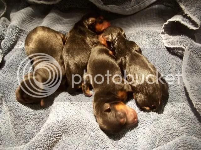 Puppies at birth